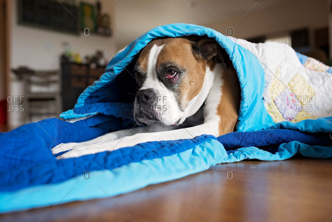 Boxer dog wrapped in a quilt