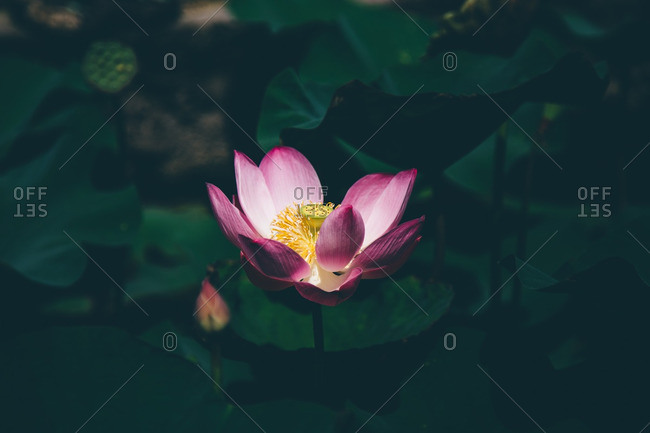 Close-up of a blooming lotus flower