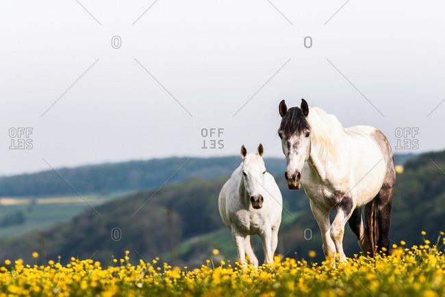 White horses walking in field of flowers