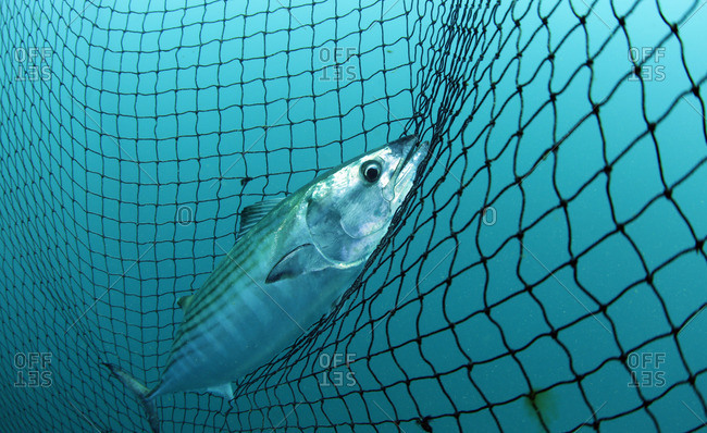 Bonito fish caught in a fishing net