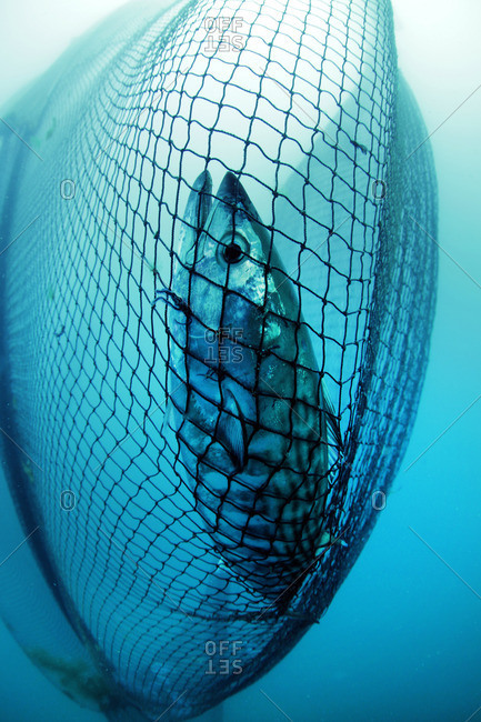 Bonito fish in a fishing net