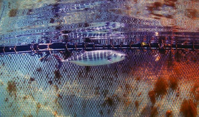 Palamut fish swimming in a fishing net