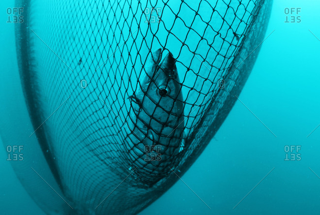 Palamut fish caught in a fishing net