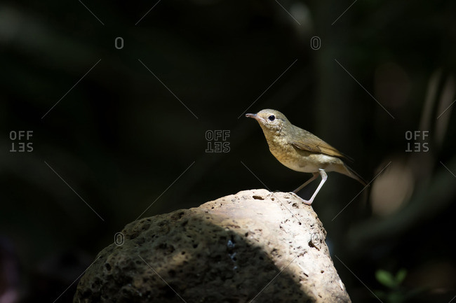 A female Siberian blue robin, Nam Cat Tien National Park, Vietnam