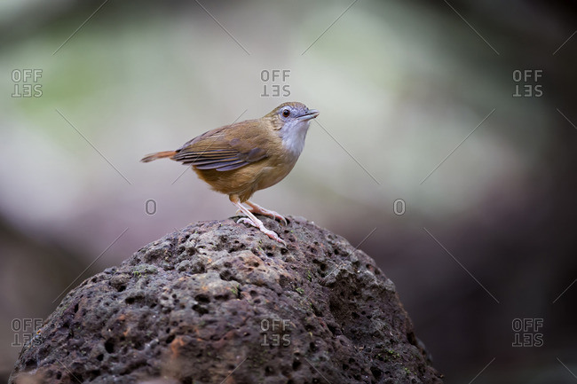 An Abbott's Babbler, Nam Cat Tien National Park, Vietnam