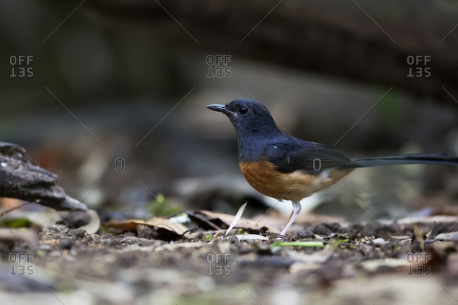 A white-rumped shama hunting for insects, Vietnam