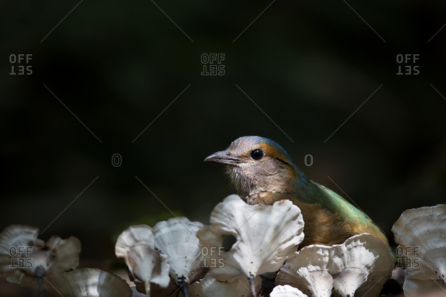 A blue-rumped pitta behind the white mushrooms on a dead branch, Vietnam