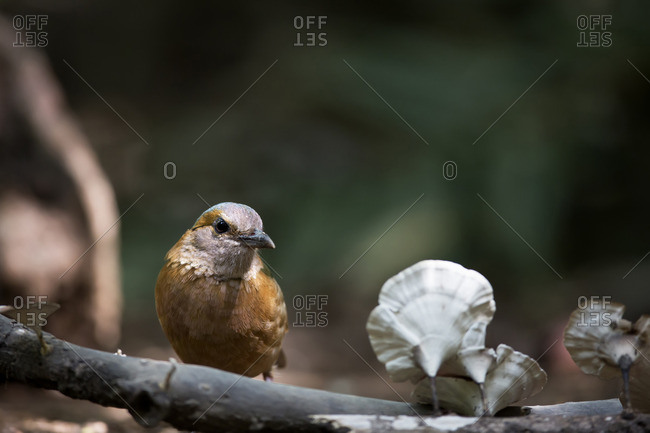 A female blue-rumped pitta on a branch with wild mushrooms, Vietnam