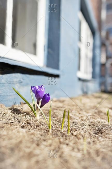 Crocus flowers growing outside house
