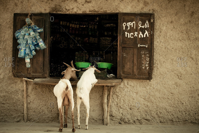 August 30, 2011: Goats at shop window, Ethiopia