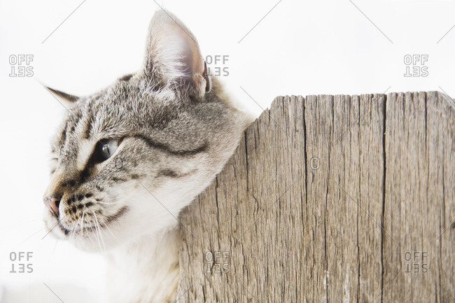Cat scratching neck on wooden fence