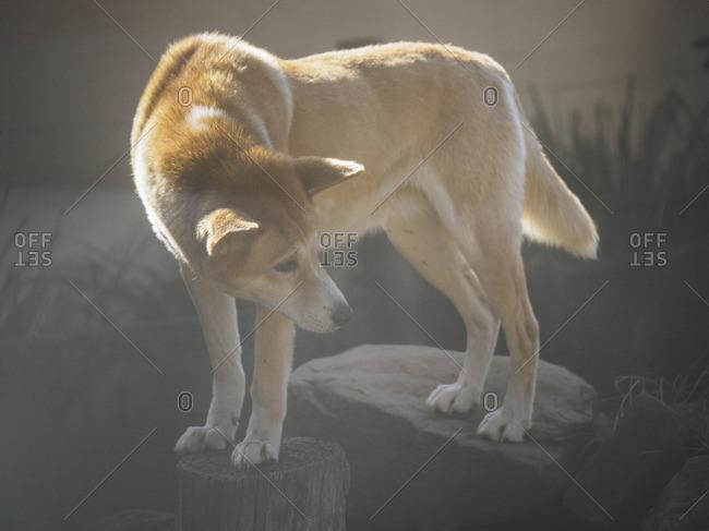 Portrait of a dingo (Canis dingo) in sunlight