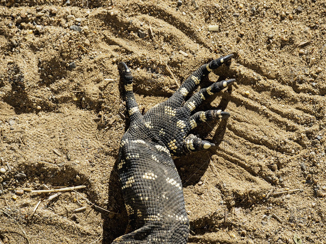 Close-up of a Goanna's claw in the sand