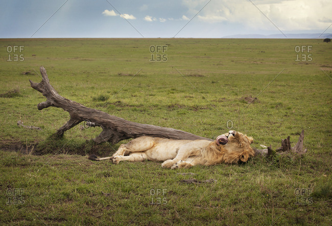 A lion with it's tongue out at the Masai Mara National Reserve