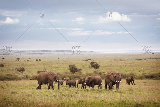 An elephant family walking through the Masai Mara National Reserve