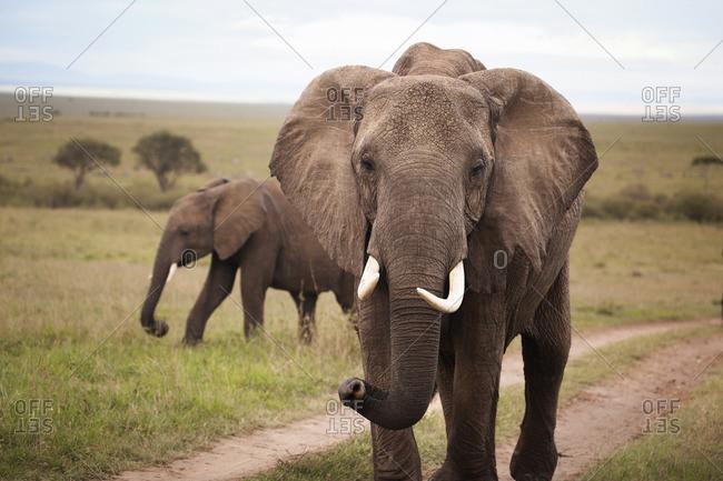 An elephant walking through the Masai Mara National Reserve