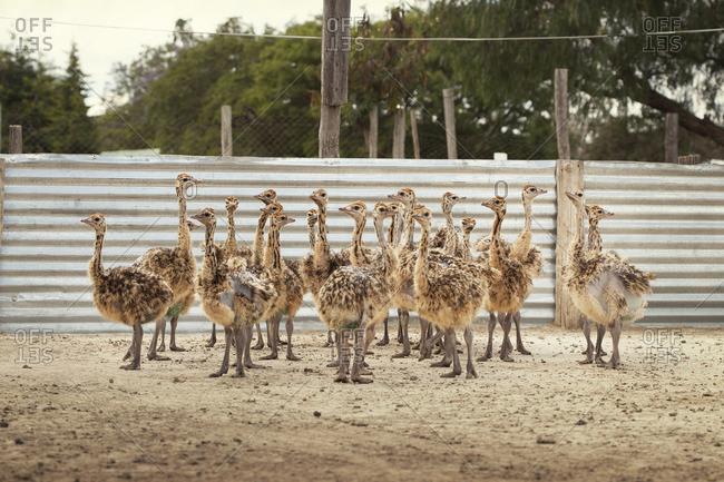 A group of young ostriches