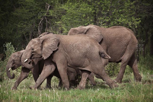 An group of elephants walking