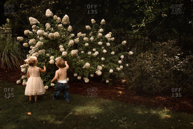 Toddler girl and boy looking at hydrangea bush in backyard