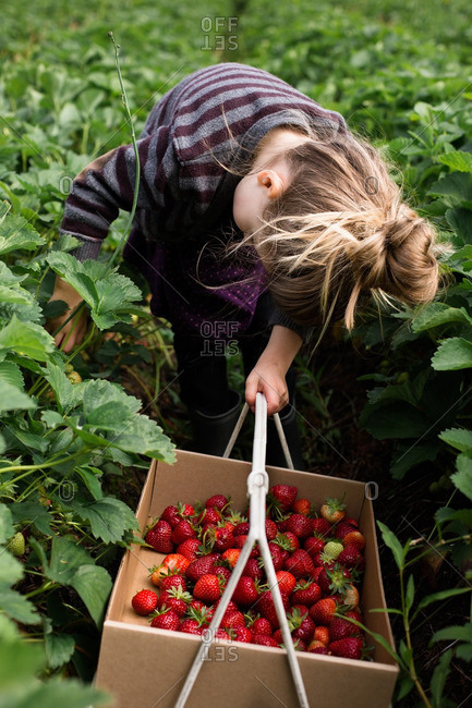 Young girl bent over picking strawberries in field