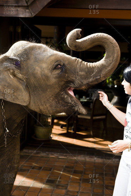 Elephant calf being fed by guest at resort