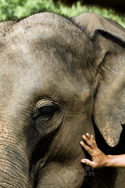 Person touching an elephant calf