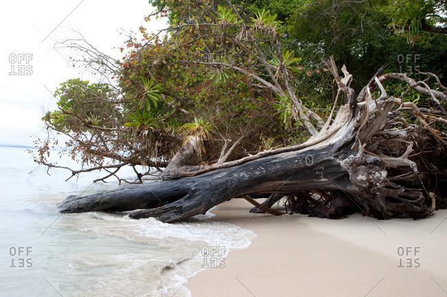 fallen over trees at pristine sandy beach