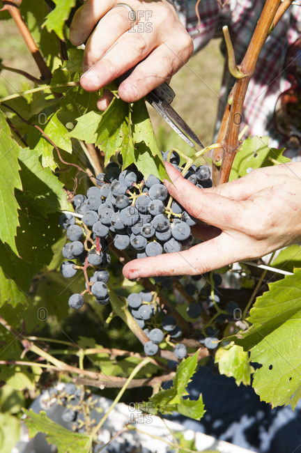Person harvesting black grapes from a vine