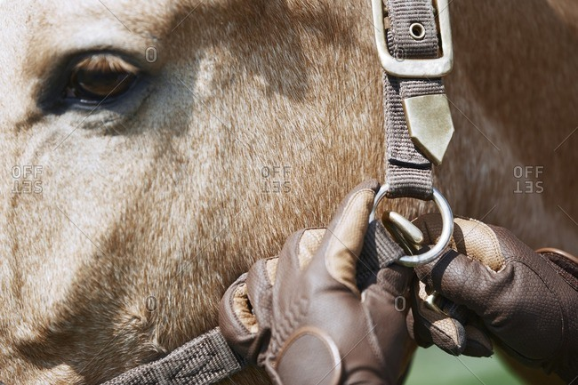 Close up of man in gloves adjusting bridle to the horse