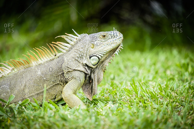 Mexico, Nayarit, Green Iguana on a meadow