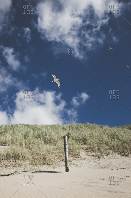 Seagulls flying over beach dune