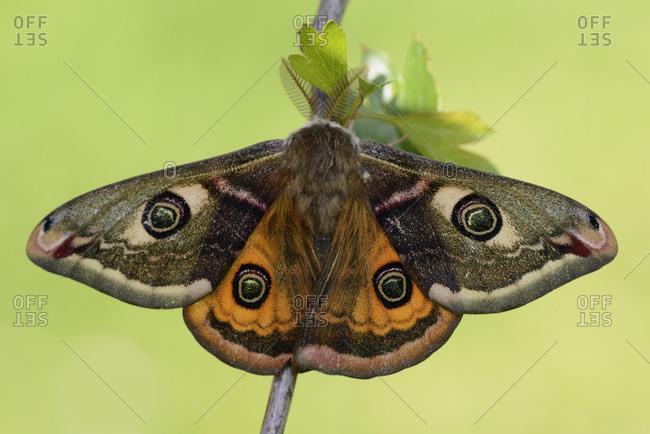 Small Emperor Moth on twig