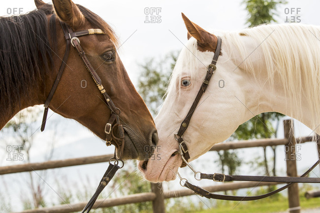 Heads of a brown and a white horse, close up