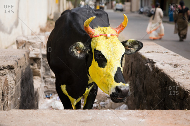 Cow painted yellow for pongal festival