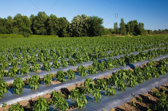 Plant crop in field