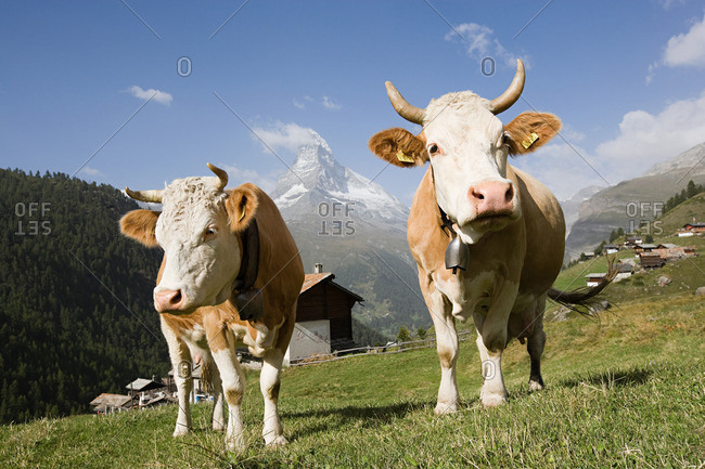 Two cows on a hillside