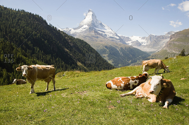 Cows resting on a hillside