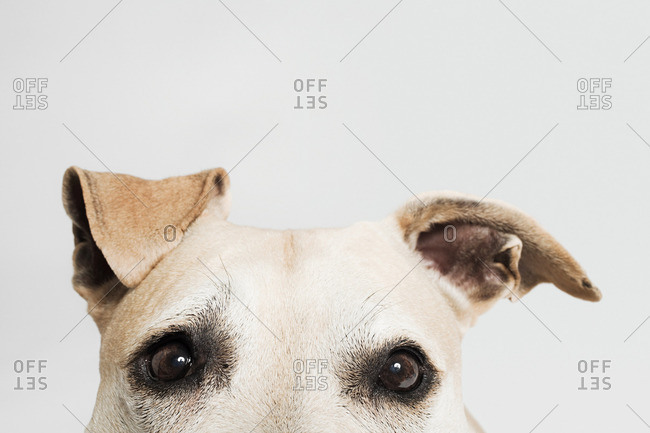 Eyes of a pitbull terrier