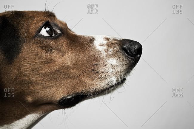 Head of basset hound