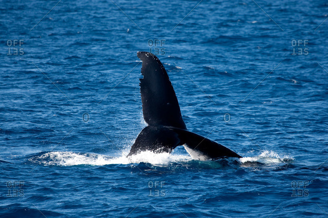 Behavior of Humpback whale.
