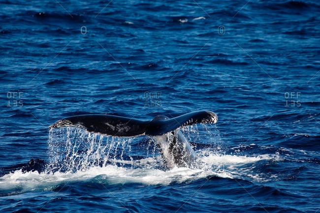Behavior of Humpback whale.