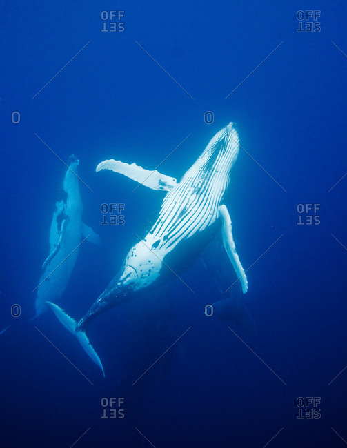 Behavior of Humpback whales