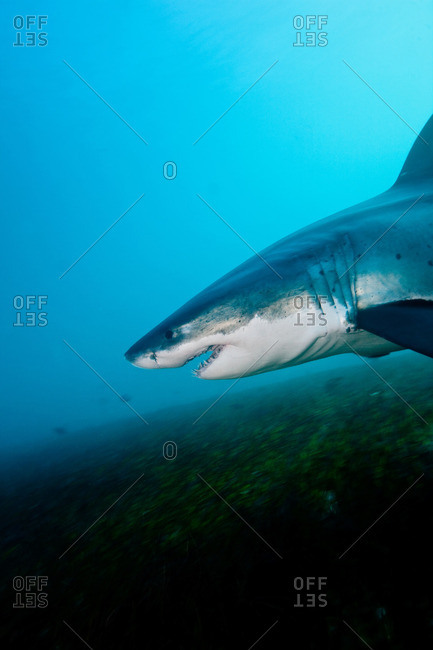 Great White Shark - Offset Collection