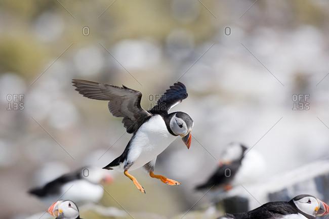 Atlantic puffin, Farne Islands
