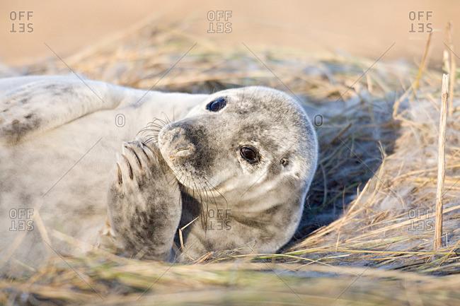 Grey seal pup, Donna Nook, Lincolnshire