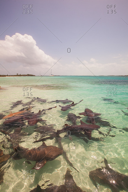 Sharks swimming in clear waters in the Bahamas