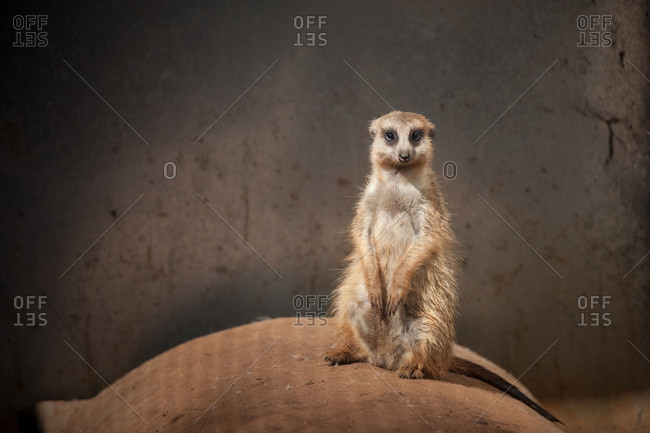 A meerkat sitting in it's enclosure at the FreeMe Wildlife Rehabilitation Centre, Johannesburg