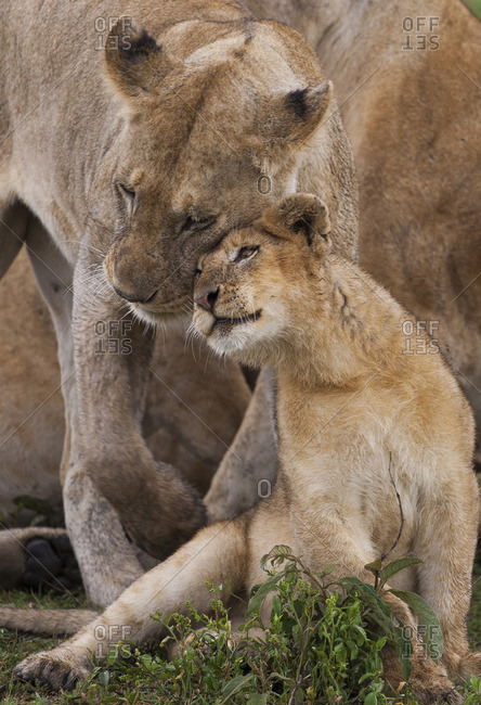 A lion cub and its mother, Panthera leo, rubbing cheeks and nuzzling in Serengeti National Park, Tanzania