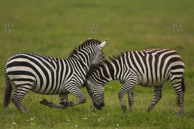 Plains zebras fighting, Ngorongoro Conservation Area, Tanzania