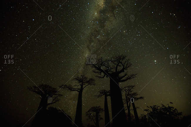 Clear nighttime skies in Madagascar allow the glow of the Milky Way to shine behind baobab trees. The sky?s clarity is largely a result of fresh ocean breezes that sweep across the island. No large cities exist within a thousand miles of this site. This thirty-second exposure captures Milky Way--it is a long enough exposure to record the light but short enough to limit blurring.